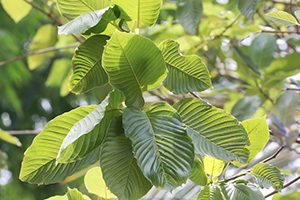 is kratom addictive